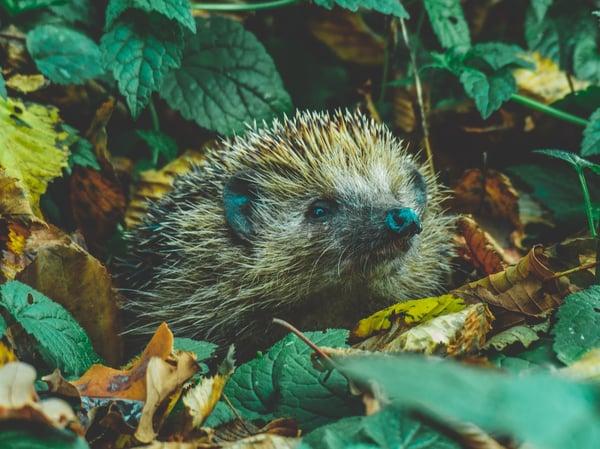 hedgehog beats the fox